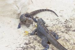 两只鬣鳞蜥划分被找到的食物以沙子为背景 免版税图库摄影