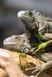 两只鬣鳞蜥在公园取暖在阳光下 图库摄影