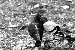 两只鸟亲吻 库存照片