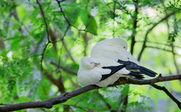 两只鸟在分支能睡觉在热带雨林 免版税库存照片