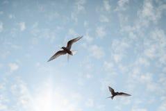 两只鸟在到达为太阳的浅兰的天空飞行 库存图片