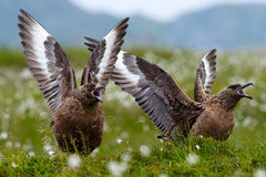 两只鸟在白色羊胡子草栖所与提起开放翼 布朗贼鸥, Catharacta南极洲,坐在summ的水禽 图库摄影