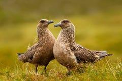 两只鸟在草栖所与晚上点燃 布朗贼鸥, Catharacta南极洲,水禽坐在秋天草的, Norw 免版税库存照片