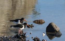 两只鸟欧亚混血人蛎鹬 蛎鹬属ostralegus,在海滩cathing的蛤蜊在Aust-Agder,挪威 库存图片