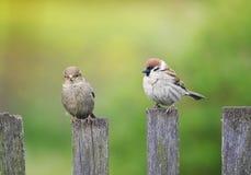 两只鸟滑稽的小的麻雀坐老木篱芭  库存照片