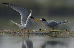 两只鸟,一只虾,分享或战斗 图库摄影