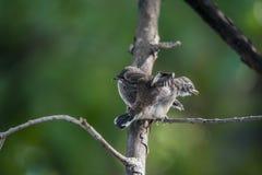 两只鸟(染色杉状尾捕蝇器)本质上狂放的 免版税库存照片