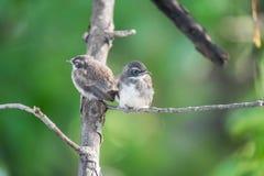 两只鸟(染色杉状尾捕蝇器)本质上狂放的 库存照片
