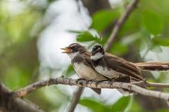 两只鸟(染色杉状尾捕蝇器)本质上狂放的 免版税库存图片