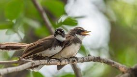 两只鸟(染色杉状尾捕蝇器)本质上狂放的 图库摄影