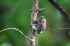 两只鸟(马来西亚染色杉状尾)本质上狂放的 免版税库存图片