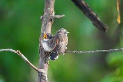 两只鸟(马来西亚染色杉状尾)本质上狂放的 库存照片