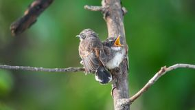 两只鸟(马来西亚染色杉状尾)本质上狂放的 免版税库存照片