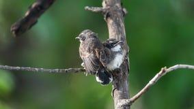 两只鸟(马来西亚染色杉状尾)本质上狂放的 库存图片