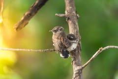 两只鸟(马来西亚染色杉状尾)本质上狂放的 免版税图库摄影
