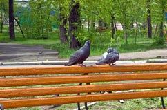 两只鸠爱在公园长椅的 图库摄影