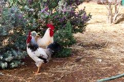两只鸡 免版税图库摄影