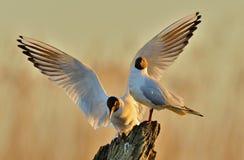 两只鸥坐老注册日出点燃 免版税库存图片