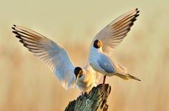 两只鸥坐老注册日出点燃 库存图片