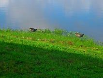 两只鸭子和一小一个在瓦尔登湖湖 图库摄影