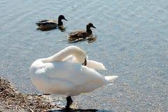 两只鸭子和天鹅 免版税库存图片