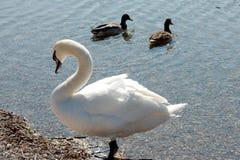 两只鸭子和天鹅 免版税图库摄影