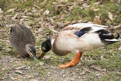 两只鸭子哺养 免版税库存照片