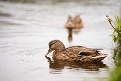 两只鸭子在一个池塘本质上 免版税库存图片