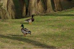 两只鸭子在太阳的正面图的野鸭步行-法国 免版税库存照片