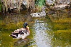 两只鸭子在池塘游泳 图库摄影