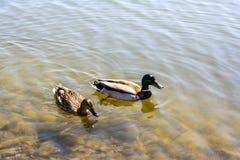 两只鸭子在池塘游泳 免版税图库摄影