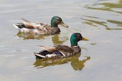 两只鸭子在池塘游泳 免版税库存照片