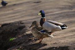 两只鸭子在池塘附近走在公园 免版税图库摄影