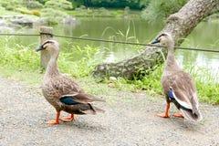两只鸭子在池塘附近走 免版税库存图片