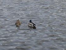 两只鸭子在河 库存照片