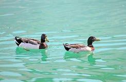 两只鸭子在湖游泳 免版税库存图片