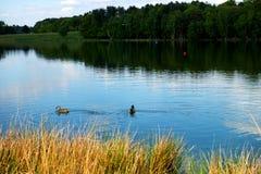 两只鸭子在湖, Bakground的森林 免版税库存照片
