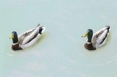 两只鸭子在湖 免版税库存照片