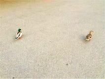 两只鸭子在街道丢失了 动物、空间和沥青 免版税库存照片