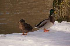 两只鸭子在雪和在冰冷的湖前面 库存照片