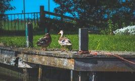 两只鸭子坐码头在草附近 图库摄影