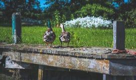 两只鸭子坐码头在草附近 免版税库存照片