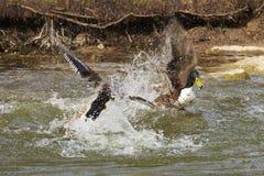 两只鸭子我一次剧烈的战斗 免版税库存图片