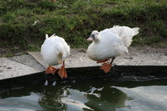 两只鸭子是饮用水 免版税图库摄影