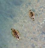 两只鸭子沿湖游泳 库存照片