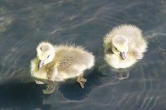 两只鸭子游泳在池塘,华盛顿D C 春天在全国树木园 库存图片