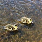 两只鸭子游泳在池塘 库存照片