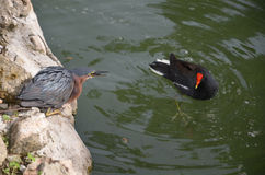 两只鸭子游泳在水中 多米尼加共和国的动物区系 免版税库存照片