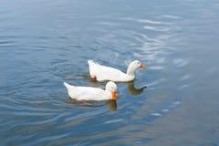 两只鸭子游泳在水中 免版税库存照片