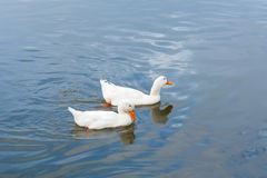 两只鸭子游泳在水中 图库摄影